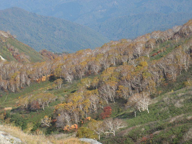 岳樺の黄葉.jpg