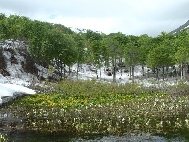 リュウキンカ沼.JPG