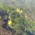 水の中に咲くリュウキンカ.JPG