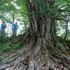 カツラの大木.JPG