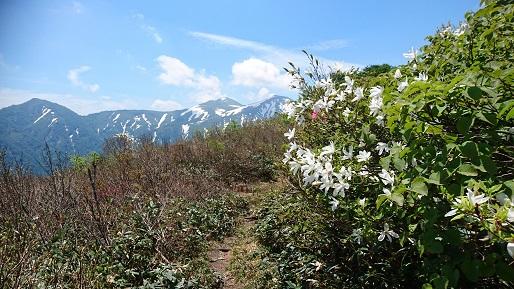 タムシバと大朝日岳.JPG