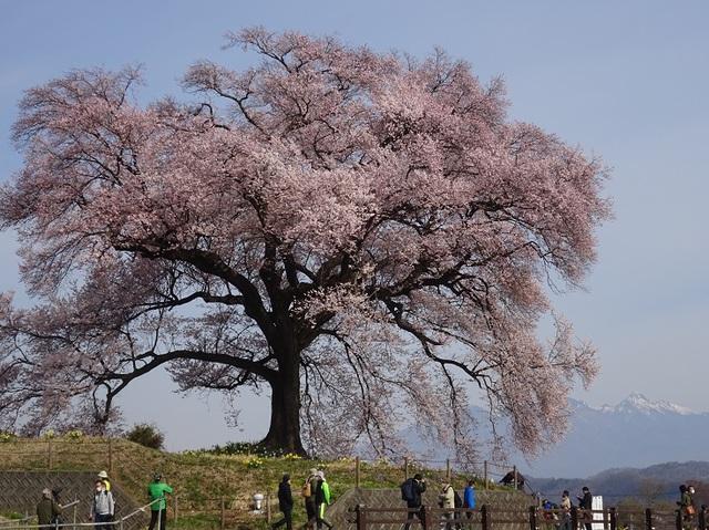 ワニ塚の桜.JPG